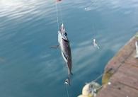 サビキ釣り画像